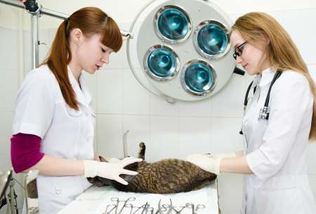 Two veterinary students performing a check up on a cat